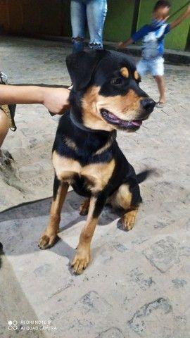 Rottweiler puro fêmea - Foto 5