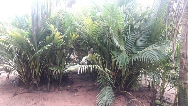 Mudas de coqueiros anão - Foto 2