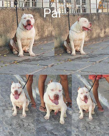 Filhote de Pitbull Puro  - Foto 4