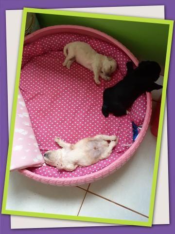 Filhote de poodle com shih-tzu
