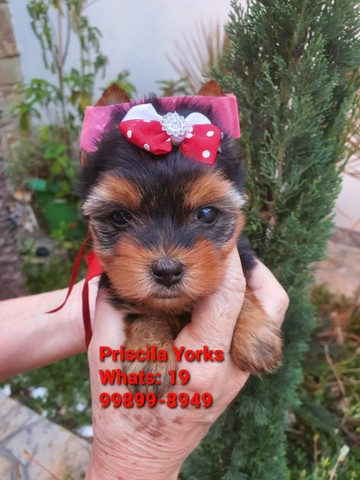 Yorkshire Terrier baby face e micrissimos - Foto 2