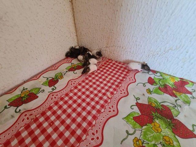 Filhotes de rato twister mansos e fofos tenho macho e femias - Foto 2