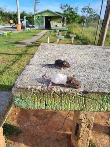 Filhotes de rato twister mansos e fofos tenho macho e femias - Foto 3