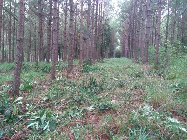 Vendo terreno pinus com 11 ano