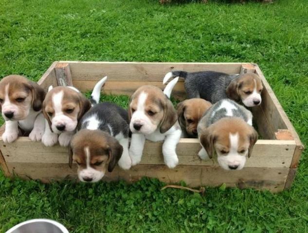 Beagle mini, a pronta entrega / * ou (11) 3862-3206 - Foto 3