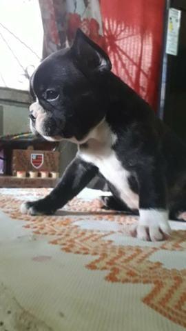 Vendo Bulldog francês com pedigree