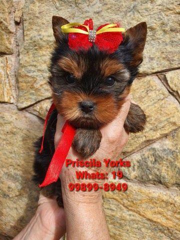 Yorkshire Terrier baby face e micrissimos - Foto 4