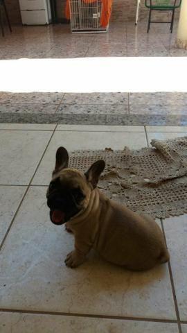 Bulldog Francês femea top