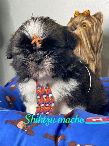 Shihtzu macho ja vacinado e comendo raçaõ seca - Foto 2