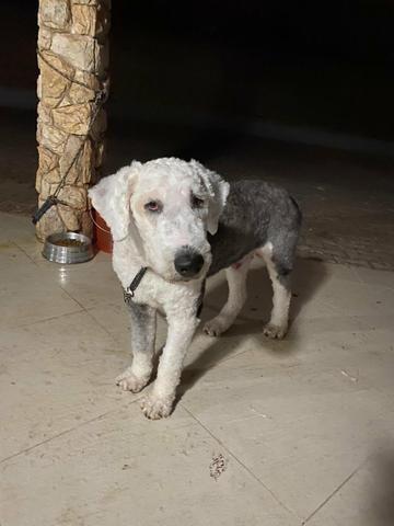 Cachorro sheep dog macho - Foto 2