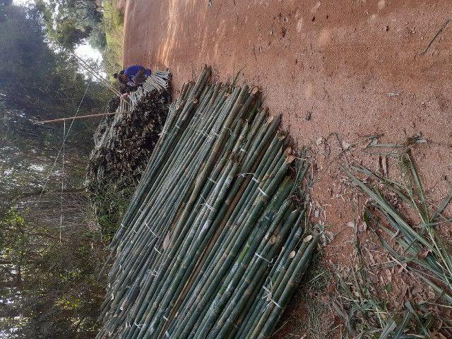 Vendo bambu para todos tipos de trabalho bambu cana de india e bambu comum - Foto 4