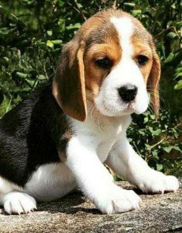 Beagle Fêmea Tricolor Miniatura Com Pedigree - Foto 5