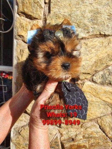 Yorkshire Terrier baby face e micrissimos - Foto 5