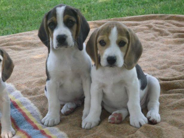 Beagle mini, a pronta entrega / * ou (11) 3862-3206