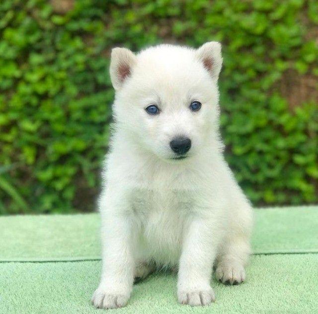 Husky Siberiano padrão internacional e magnifico da raça!  - Foto 3