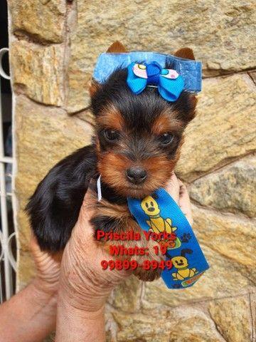 Yorkshire Terrier fêmeas e machos baby face! - Foto 3