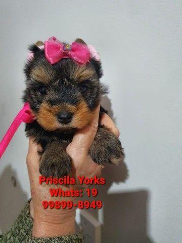 Yorkshire Terrier filhotes mais populares e adquiridos! - Foto 5