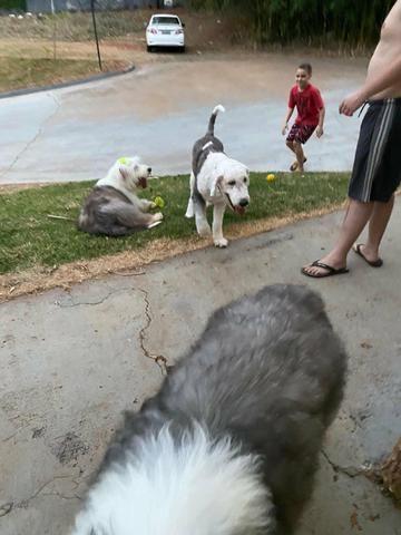 Cachorro sheep dog macho - Foto 3