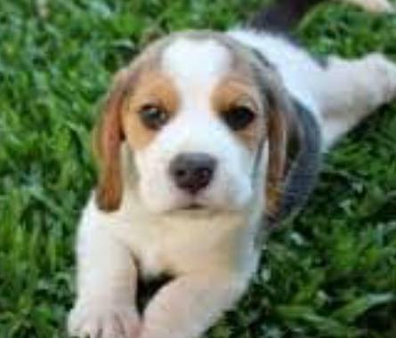 Beagle Fêmea Tricolor Miniatura Com Pedigree - Foto 4