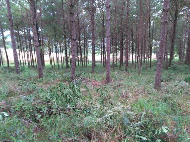 Vendo terreno pinus com 11 ano - Foto 2