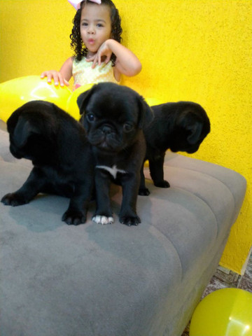 Filhotes de Pug fêmea - Foto 4