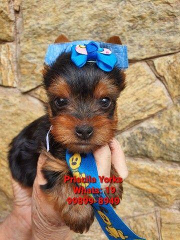 Yorkshire Terrier fêmeas e machos! - Foto 5