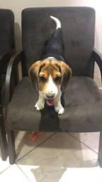 Filhote Macho de Beagle Vacinado