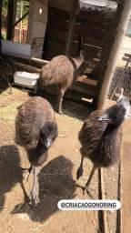 Filhotes de Emu Australiano com 2 meses