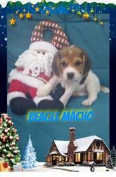 Beagle muito lindo
