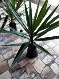 Yucca - Mudas plantas ornamental