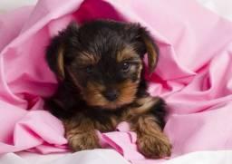 Filhote Yorkshire Terrier Machinho