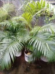 Vende-se palmeiras