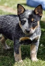 Australian Dog vacinado e com microchip - pedigree