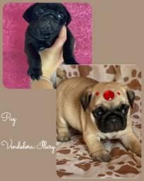 Pug com pedigree e microchip até 18x