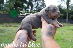 Pit Monster Tricolores, com pedigree