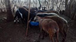 Vendo- ovinos