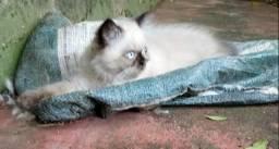 Filhote persa macho olho azul