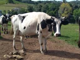 Venda vaca leiteira
