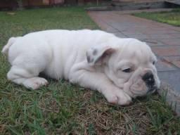 Filhote de bulldog ingles