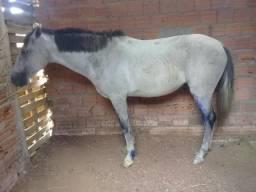 Vendo cavalo marajoara melhorado
