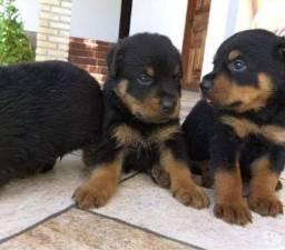Rottweiler porte alemão