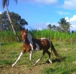 Cavalo Mangalarga De Marcha Picada