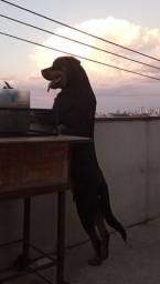 Vende-se filhote de Rottweiler Macho