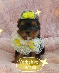 Menina yorkshire, Namu Royal Pet shop! Fotos reais!