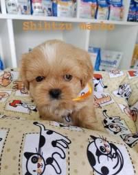 Shihtzu macho lindo vermifugado com Drontal Puppy