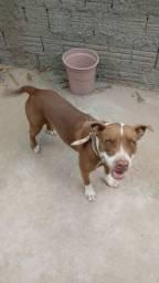 Cachorro Pitbull tem pedigree
