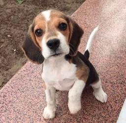 Beagle macho adestrado no jornal e tapete higiênico