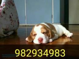 Beagle fêmea bicolor 13 polegadas