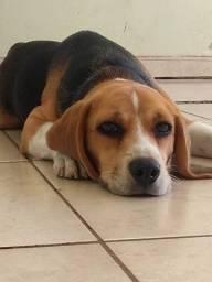 Beagle fêmea 1 ano