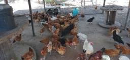 Vendo galinhas de capoeira